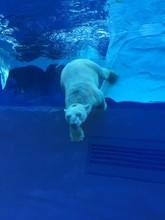 White Polar Bear Swimming In A...