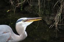 A Closeup Of A Blue Heron Eating A Fish