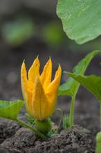 Yellow Flower, Pumkin