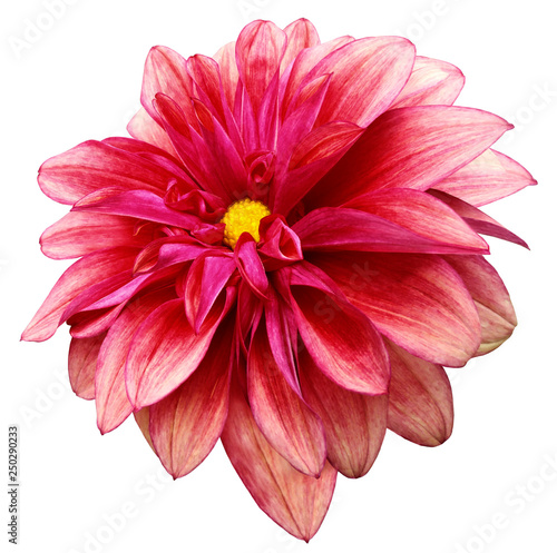 Poster de jardin Dahlia flower isolated red dahlia on a white background with clipping path. For design. Closeup. Nature.