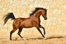 Purebred Bay Arabian Stallion ...
