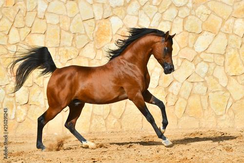 Fototapeta Purebred bay arabian stallion runs in gallop along stone wall. Horizontal, side view, in motion. obraz