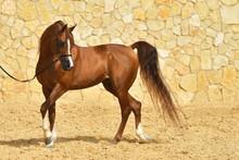 Purebred Chestnut Arabian Stal...