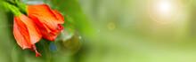 Hibiscus Chinese (Hibiscus Ros...
