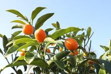 Orange Fruits Called Kumquat