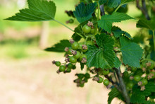 Green Currant Berries
