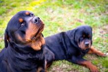 Beautiful Rottweiler Dog Watch...