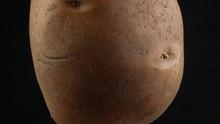 One Fresh Potato Close Up