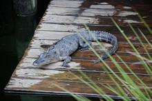 Alligator Sunning Himself On Wooden Dock Behind Wild Grasses