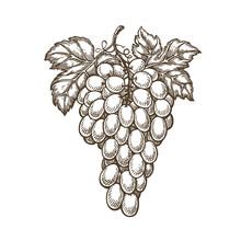 Hand Drawn Bunch Of Grapes. Fruit, Vineyard, Wine Sketch. Vintage Vector Illustration