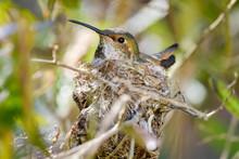 Hummingbird Sitting On Her Nest