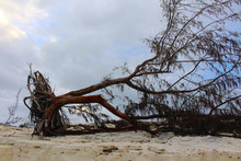 A Tree Uprooted By A Hurricane...