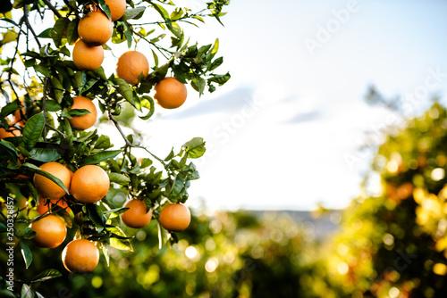 Obraz na płótnie Ripe oranges grown in a Mediterranean orchard in the sun growing healthy from a Valencian orange tree in summer