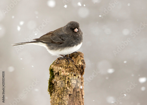 Nice photo of a Dark eyed Junco (Junco hyemalis) perched on a branch during a gentle snow Canvas Print