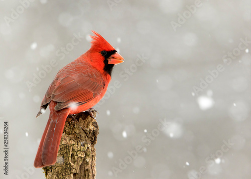 Canvas Print Beautiful photo of a male Northern Cardinal (Cardinalis cardinalis) standing on a perch during a gentle snow