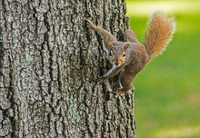 A Red Squirrel Hangs Around A Tree In The Summer.