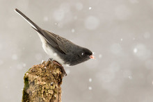 Nice Photo Of A Dark Eyed Junco (Junco Hyemalis) Perched On A Branch During A Gentle Snow.