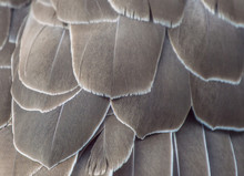 Background Texture-close Up Detail Of Brown And White Goose Feathers