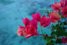 Pink Flowers Of A Tropical Bougainvillea Vine Over The Turquoise Blue Lagoon In Moorea, French Polynesia