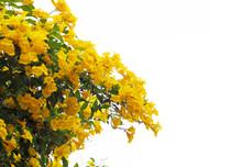 Yellow Elder Or Trumpetbush Flowers