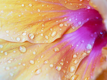 Water Drops On Petals Of Orang...
