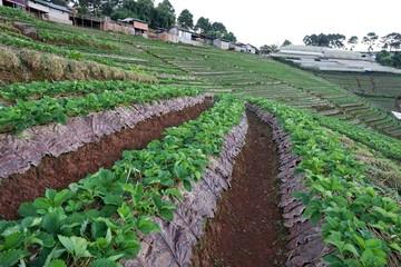 Fototapeta na wymiar Strawberry field at Chiang Mai, Thailand