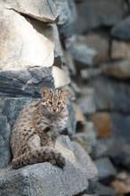 Leopard Bengal Cat. Prionailur...