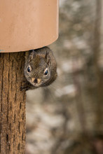 Cute Brown Squirrel Comes Out ...