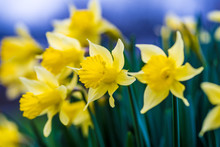 Daffodils, Early Spring Bloom,...