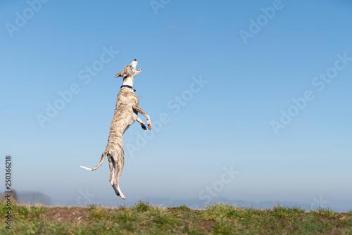 Fotografie, Obraz  Lebensfreude - Windhund springt aufrecht in die Luft