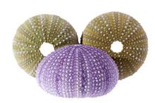 Sea Shells Of Sea Urchin ( Vio...