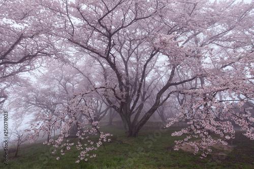 Fotografie, Obraz  紫雲出山の桜