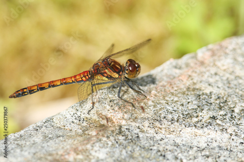 Obraz na plátne A Common Darter Dragonfly (Sympetrum striolatum) perched on a rock in the highlands of Scotland
