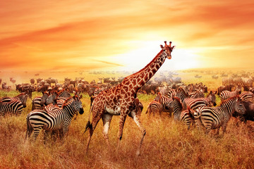 Wild African zebras and giraffe in the African savannah. Serengeti National Park. Wildlife of Tanzania. Artistic image.