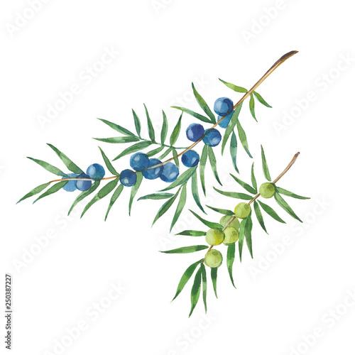 Fototapeta sprigs of juniper obraz