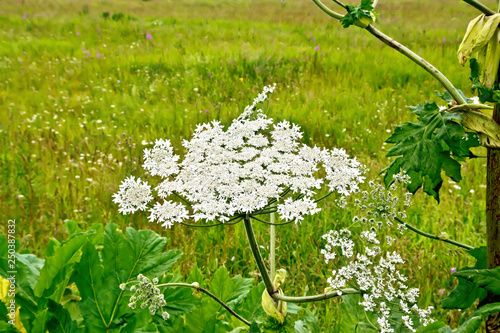Valokuva  Heracleum blooming white flowers