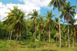 Coconut palms on Koh Chang island in Thailand