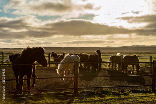 Spoed Foto op Canvas Icelandic horses in back light in a corral at a farm in Iceland