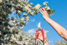 Cutting Branch Of Blooming Fruit Tree By Pruning Shears. Gardening In Orchard During Spring Season
