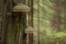 Polypore Growing On Tree Trunk