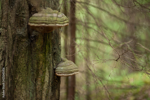 Fotografie, Tablou Polypore growing on tree trunk
