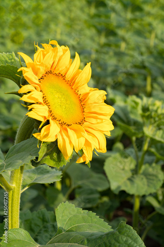 In de dag Zonnebloem Sunflowers garden. Sunflower in summer field
