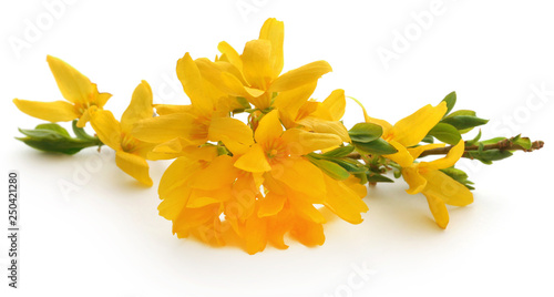 Bunch of fresh forsythia Canvas Print