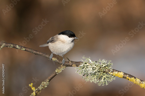 marsh tit on a branch Canvas Print