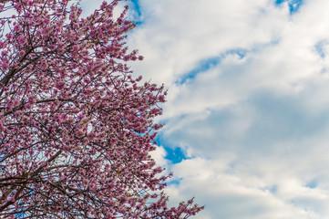 Fototapeta Współczesny flowered almond tree in spring