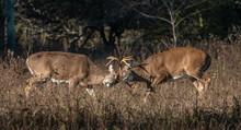 Large Antlered Whitetail Buck