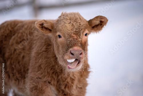 Poster de jardin Vache Black Angus and Charolais Cross Cow Calf Eating Snow