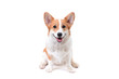 pembroke welsh corgi puppy dog