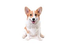 Pembroke Welsh Corgi Puppy Dog