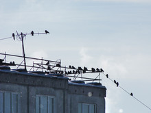 Many Birds, Jackdaws, Crows Sat In Flocks On Wires On The Roof Of A Multistory Apartment Building In An Urban Environment.